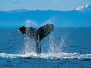 Testgalerie, Ein Buckelwal, der mit seinem Schwanz auf die Wasseroberfl